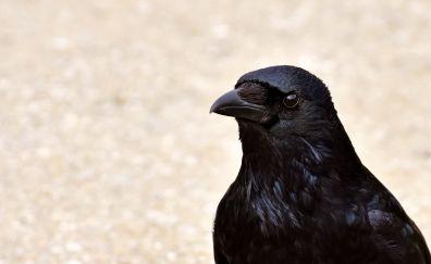 Black, Crow, Raven, bird, stare