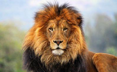 Calm Lion animal