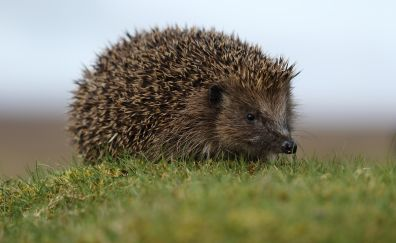 Small hedgehog, wild animal