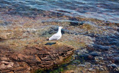Seagull, water bird, water