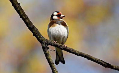 European goldfinch, sitting, bird, blur