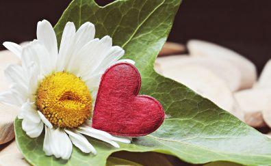Marguerite, daisy white, heart, flowers