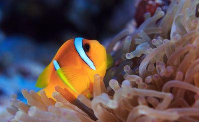Clownfish, underwater, small fish