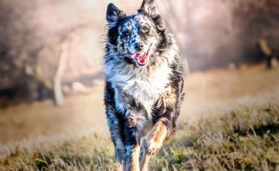 Border Collie, Dog, play, spots, meadow