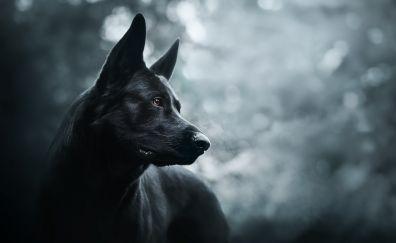 German shepherd, black dog, muzzle