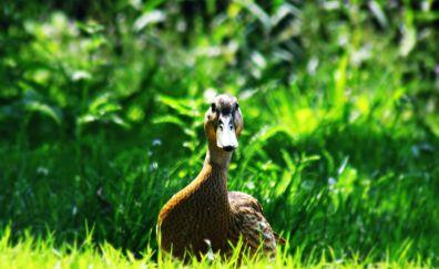 Brown Mallard, duck, water bird, grass
