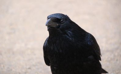 Raven bird, crow, black bird