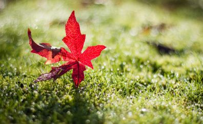 Red leaf, meadow, close up