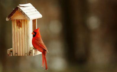 Cardinal bird, red bird, birdhouse
