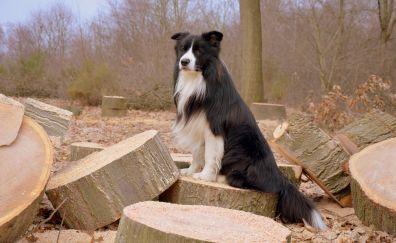 Border collie, wooden logs, dog, furry, 4k