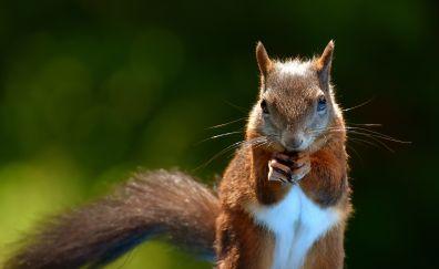 Brown rodent, squirrel, cute animal, garden