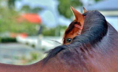 Brown horse, eyes, animal