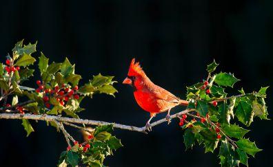 Cardinal, bird, red, berries, tree branch