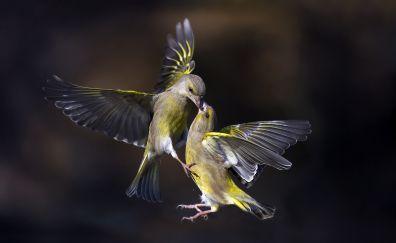 Birds, kiss, flight