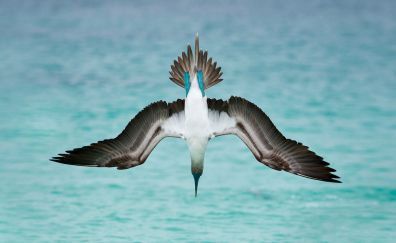 Blue-footed booby, bird, dive, wings