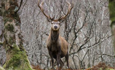 Deer, forest, wild animal, horns