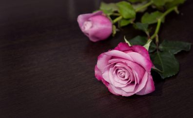 Pink rose, bud, flowers, 5k