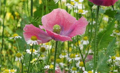 Pink poppy, plants, flowers, meadow