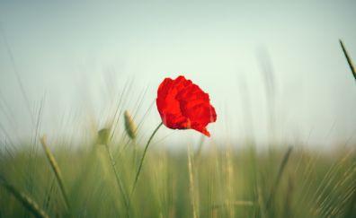 Red poppy, flower, grass threads