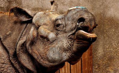Rhino, Rhinoceros, wild animal, muzzle, wildlife