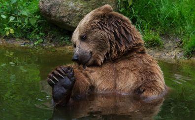 Brown bear, predator, animal, fun, bath