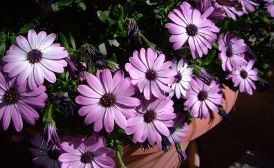 Backyard, flowers, daisy, pink flowers