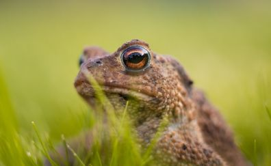 Eyes, muzzle, frog, animal