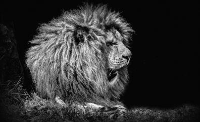 Lion, furry, predator, muzzle, monochrome