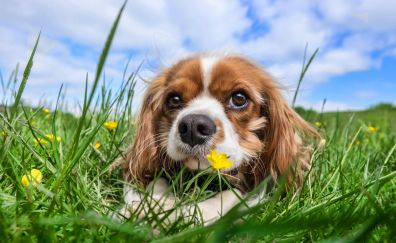Cavalier king charles spaniel, muzzle, outdoor, grass