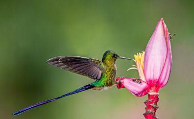 Hummingbird, long tail bird, flower