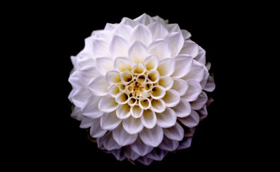 Dahlia, flower, portrait