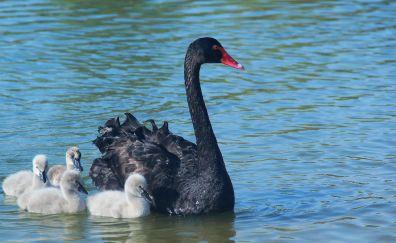 Swan, baby birds. swimming, family, 5k