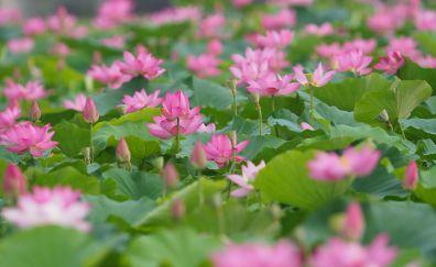 Pink lotus plants, flowers, lake, leaves