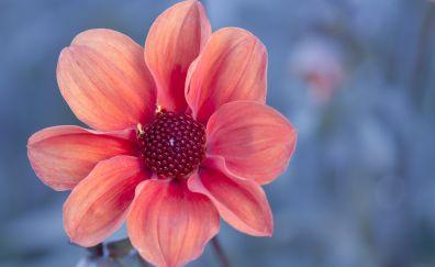 Dahlia, flower, spring, close up