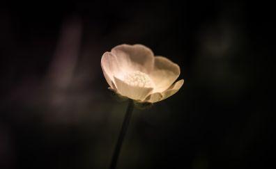 White lone, singe flower, dark, poppy, 5k