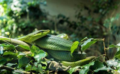 Green snake, reptile, 5k