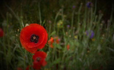 Wild poppies, red flowers, grass, 4k