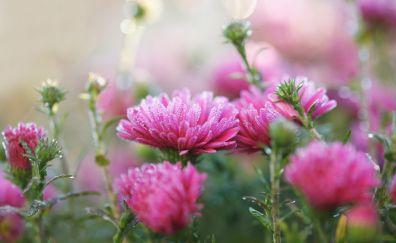 Pink flowers, clover, bokeh, blossom