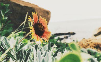 Sunflower, leaves, yellow flower, sepia