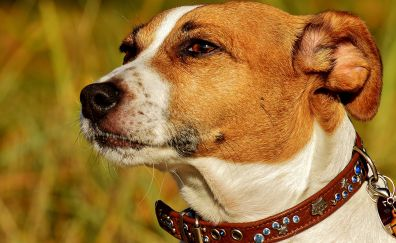 Jack russell, dog, confident, muzzle, 4k