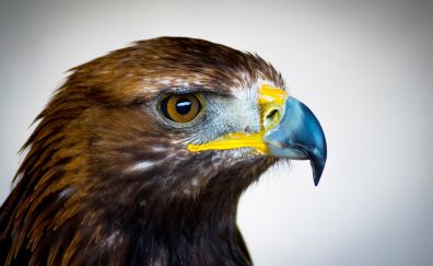 Golden eagle, muzzle, head, beak, feathers