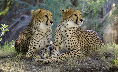 Cheetah, predator, sitting, wild animals