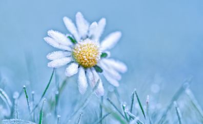 Snowfrost, white daisy flower, winter