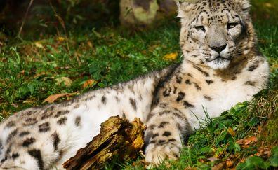 Snow leopard, predator, calm, relaxed, 4k