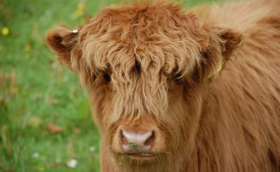 Cow, calf, cattle, domestic animal