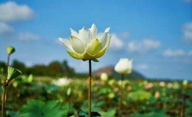 White louts, flower, lake