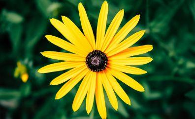 Yellow daisy, flower, bloom, petals