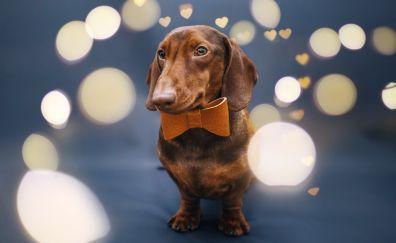 Cute, dachshund, dog, animal