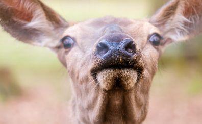 Deer muzzle, close up