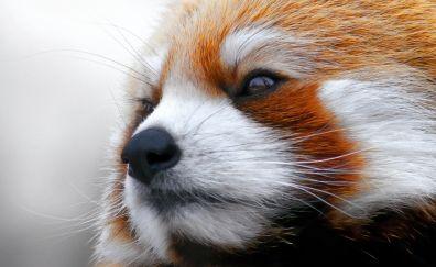 Red panda's cute face